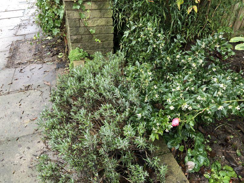 scented shrubs