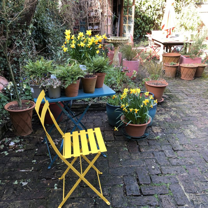 yellow daffodils yellow chair  in a cottage garden