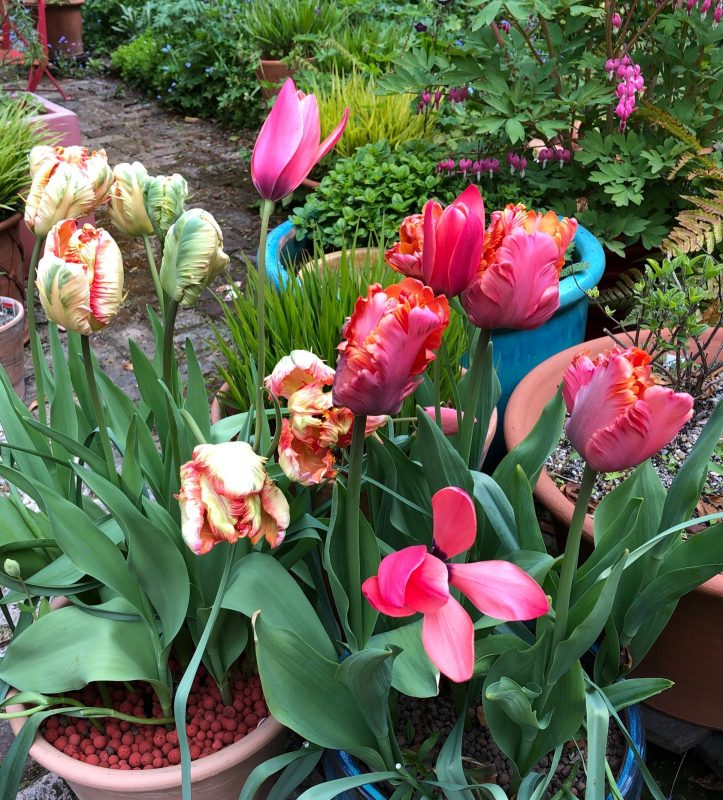 parrot tulips in a pot