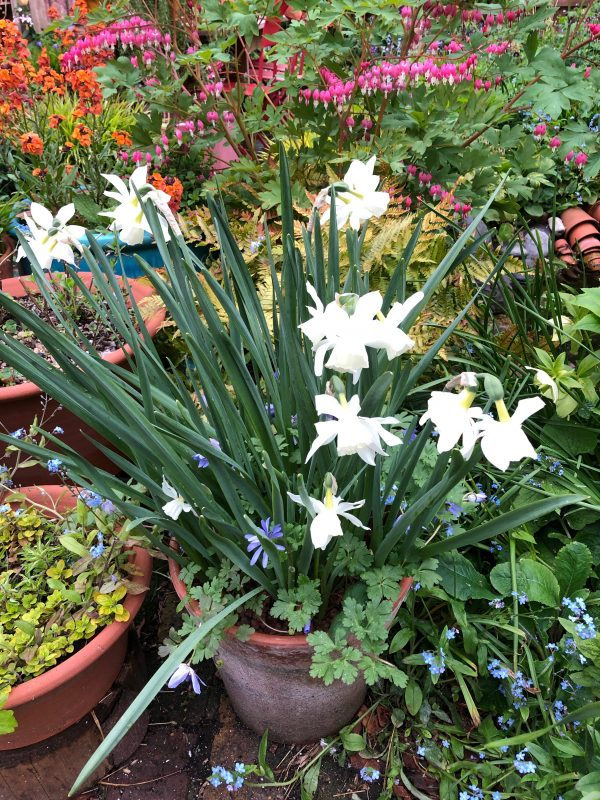 spring bulbs in a pot