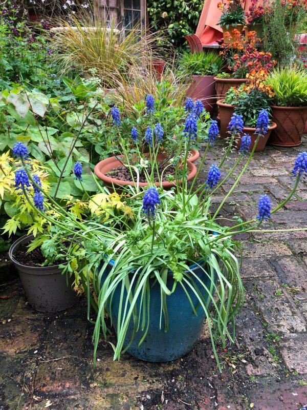 muscari in a blue pot