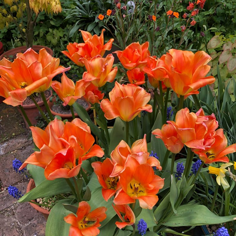 Orange Emperor tulips in a pot