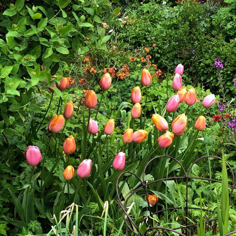 cottage garden tulips