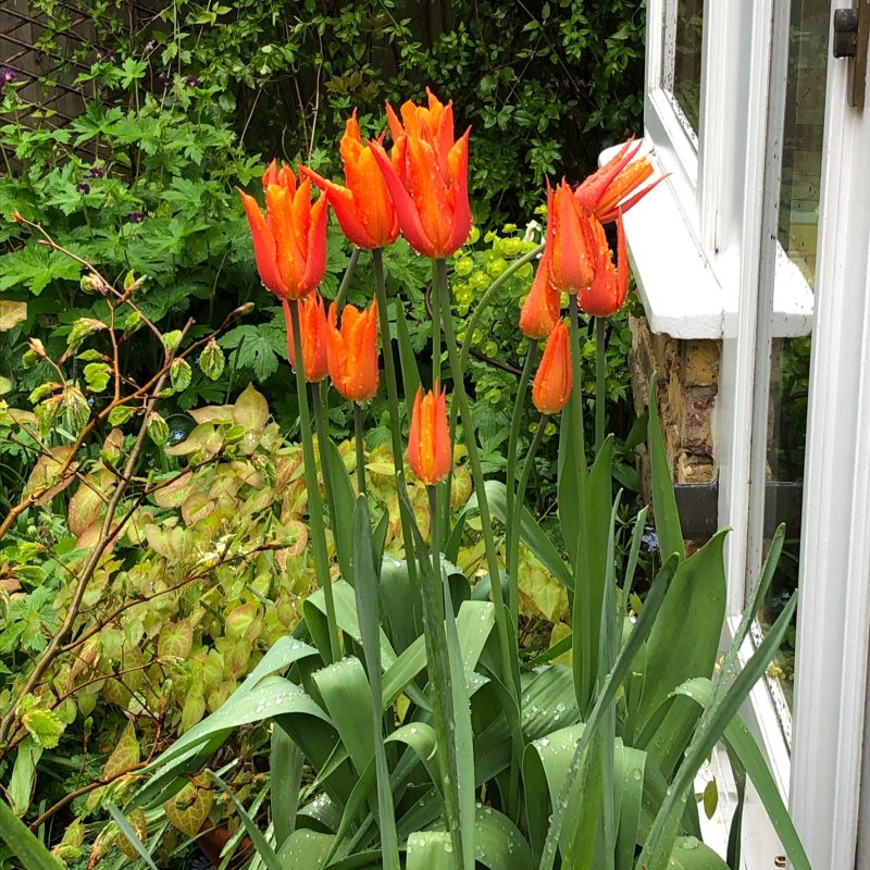 weatherproof tulips