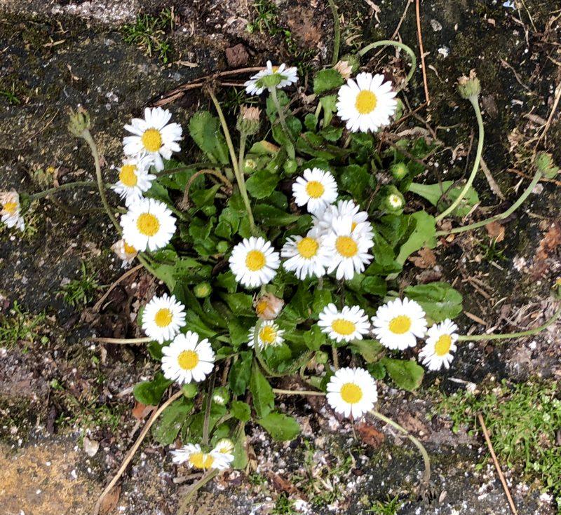 daisies in brick paving